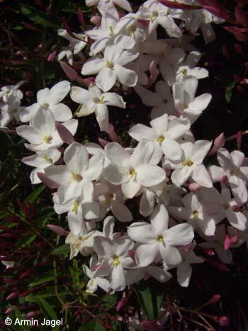 flora von mallorca flowers of majorca oleaceae. Black Bedroom Furniture Sets. Home Design Ideas