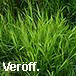 Veröff.: Koreneef, Leersia in der Ruhraue